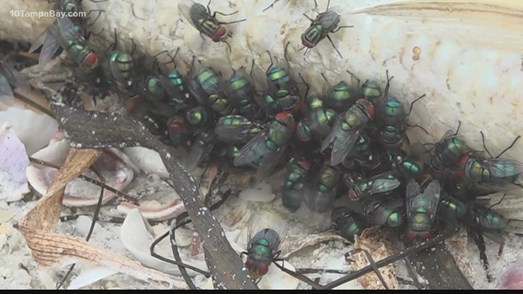 Entomologists suspect red tide to blame for swarming flies across Pinellas
