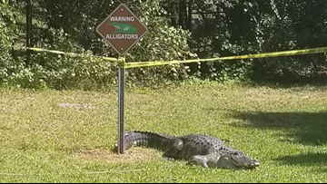 Alligator hangs out at park under alligator warning sign, doesn't seem to care