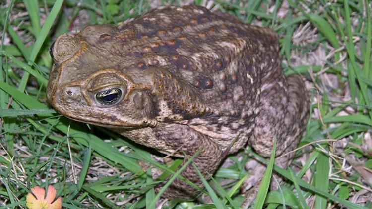Florida neighborhood overrun with poisonous toads
