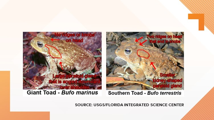Can you tell the difference between the invasive giant toad (bufo toad) from the native southern toad? It's not easy!