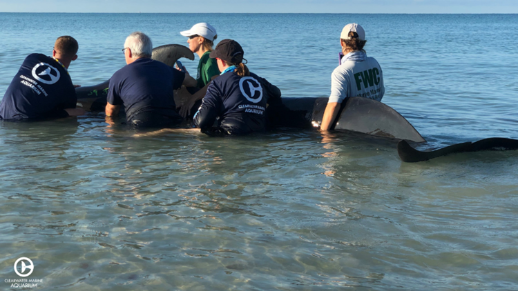 5 pilot whales rescued