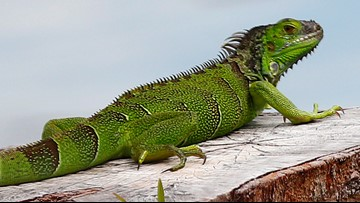 When iguanas fall from trees, some Floridians fire up their grills
