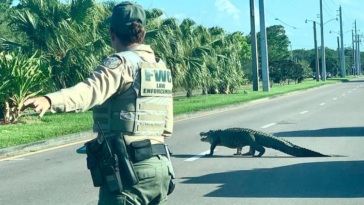 Gator causes traffic backup on South Florida roadway