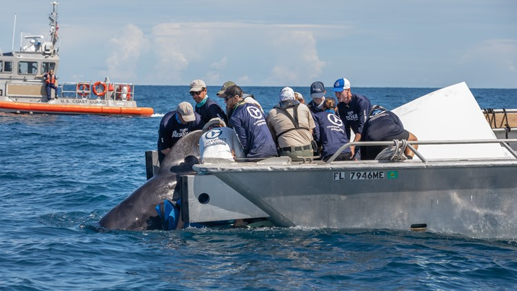 Whale rescue by Clearwater Marine Aquarium center of new documentary
