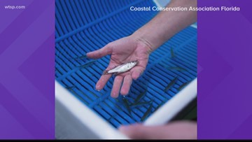 Thousands of fish to be released in Florida after red tide devastates marine life