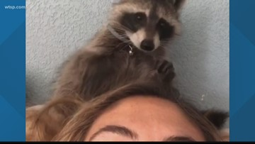 FWC takes raccoon from family | 10News WTSP