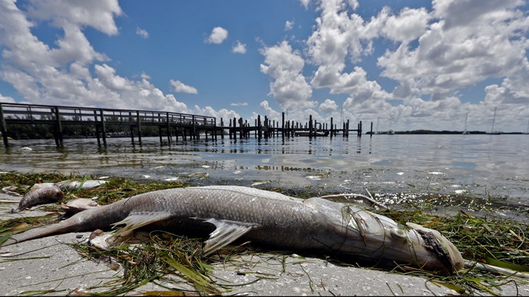 FWC: Patchy bloom of red tide continues to persist along Florida Gulf Coast