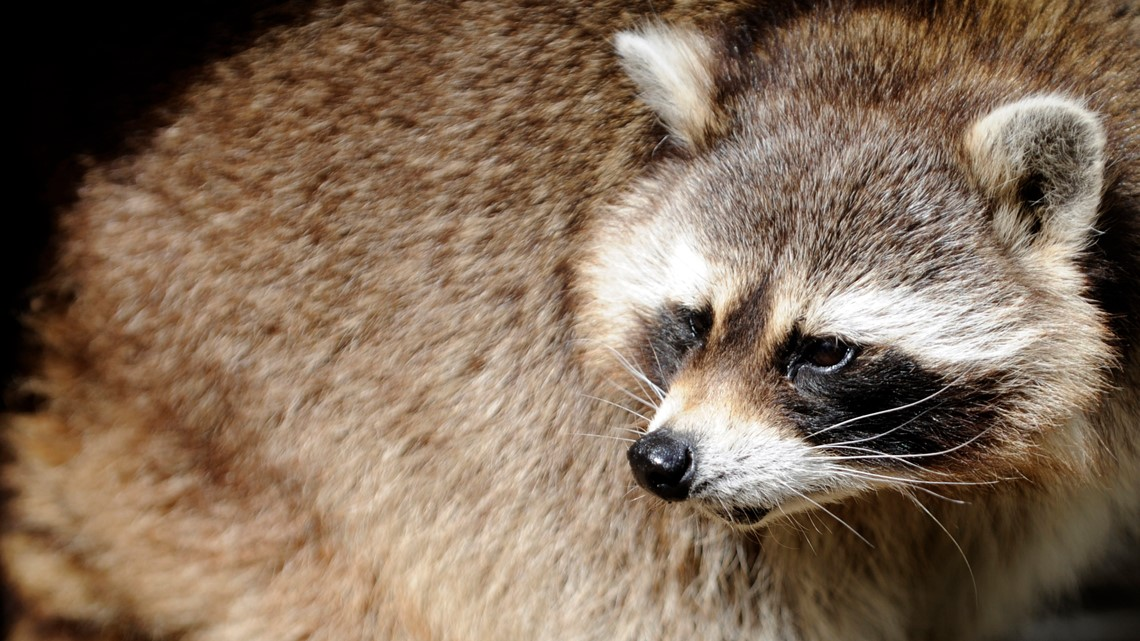 Lawyer who forced raccoon off boat faces back-to-back investigations