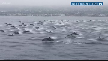 Wow Moments: Video shows huge pod of dolphins