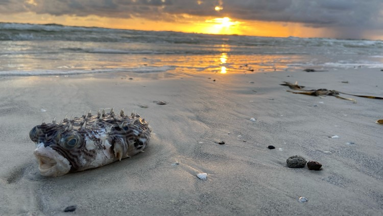 Red tide watch: 'High' risk of respiratory issues at some Tampa Bay beaches