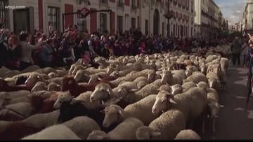 Sheep, goats create traffic jam