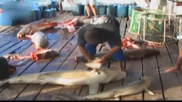 Florida wades into the culture war over shark finning