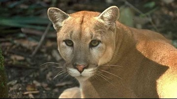 Four Florida panthers killed in 2020 so far