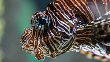 Lionfish Derby fishing tournament canceled