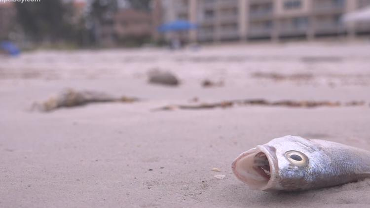 Red tide remains present in the Tampa Bay area