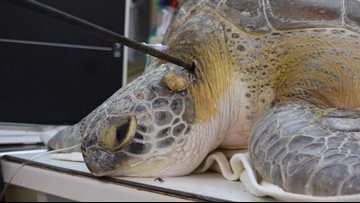 Sea turtle found shot with a spear off Key Largo