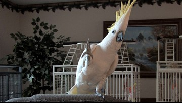 Snowball the headbanging cockatoo has 14 different dance moves