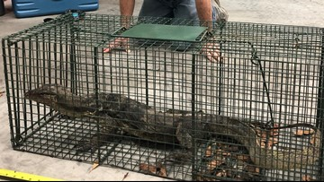 Leapin' lizards! Giant water monitor captured after a year of trying