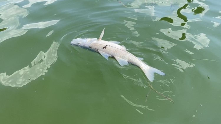 Red tide causes local fishing guides to cancel charters