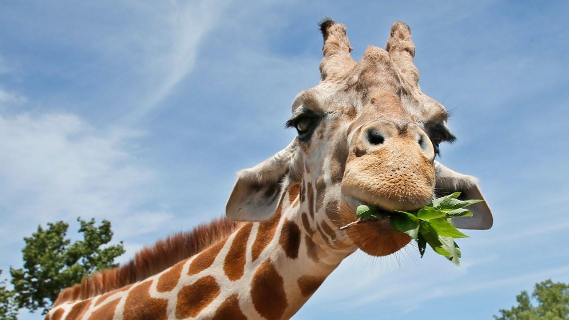 Giraffes killed by lightning at Florida animal park
