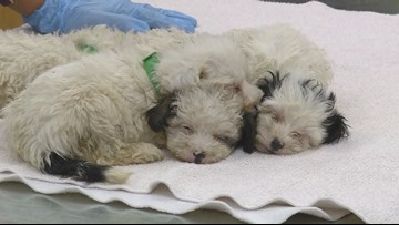 Adoption process begins Sunday for dogs seized from 'unsafe' breeder
