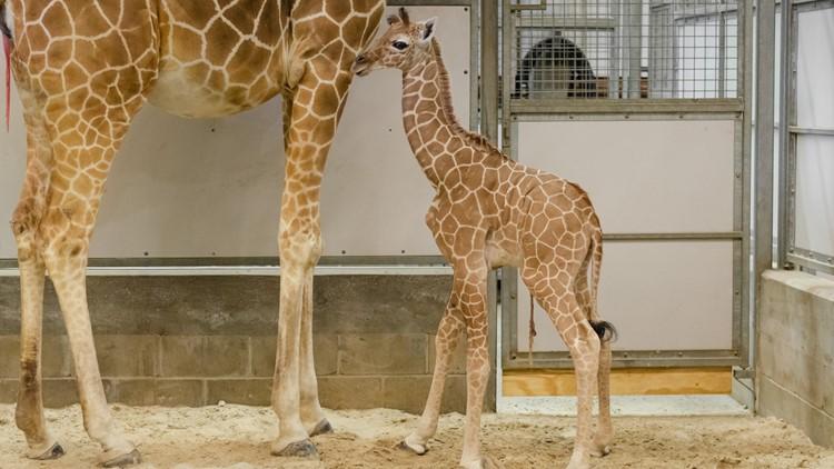 Jacksonville zoo welcomes giraffe calf