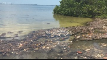 Blue-green algae showing in Tampa Bay area waters