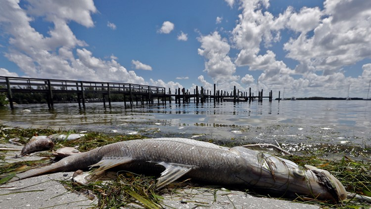 Brewing up a solution to red tide, Mote scientists look to beer hops for hope