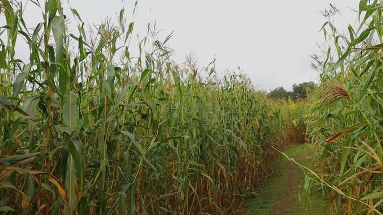 Fall comes to Florida at historic Plant City corn maze