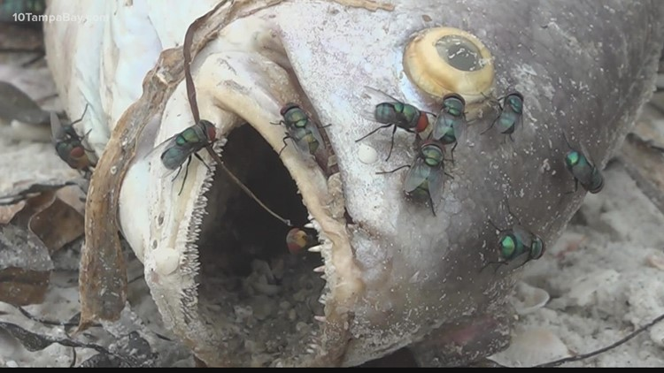 UF researchers study if flies carry red tide toxins