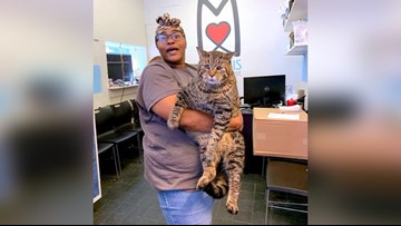 This 26-pound cat is getting adopted