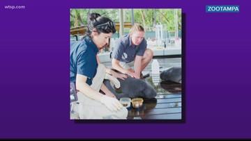 ZooTampa treats orphan manatee calves
