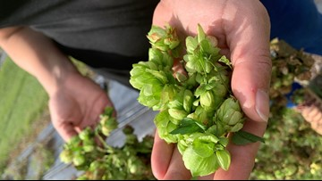 Researchers finally figured out how to grow hops in Florida