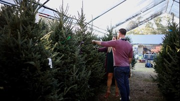 Sniffling and sneezing? It could be your Christmas tree