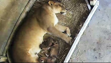 Florida zoo celebrates its first lion birth in 30 years