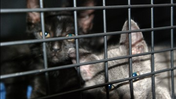 24 flea-infested cats rescued from garage in Spring Hill