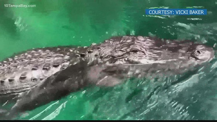 'Get away from me!' Florida woman pushes away large alligator while paddle boarding