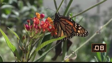 Population of migrating monarch butterflies considered critically low