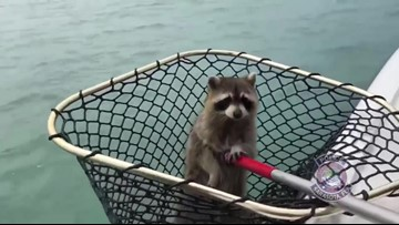 Raccoon rescued from channel marker off the coast in Sarasota, Florida