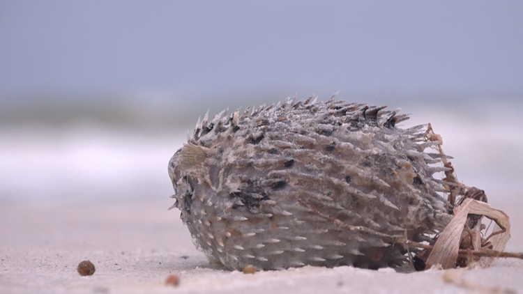 Traces of red tide return to Manatee, Sarasota county beaches