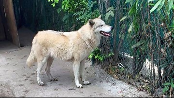 Wolf-dog hybrid that escaped from sanctuary is back home