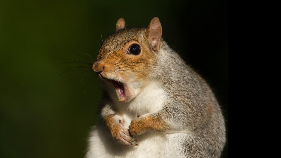 Screwy squirrel goes wild, attacks Sarasota man