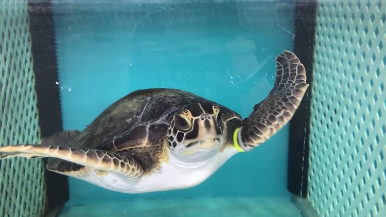 Florida Aquarium to release 5 sea turtles after rehab