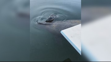 Watch: Manatee gives birth in the Florida Keys