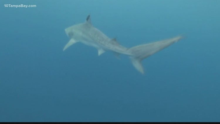 Does climate change affect sharks?