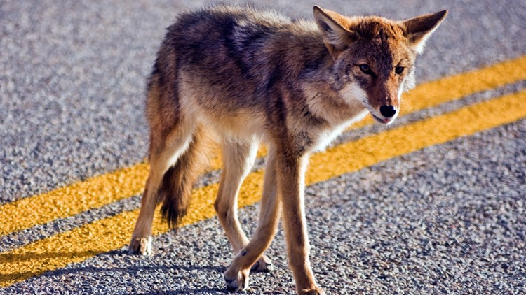 Coyotes arrived in Florida the 70s. They're now in all 67 counties.