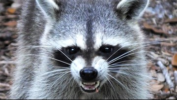 UPDATE: Couple injured by raccoon, not bobcat