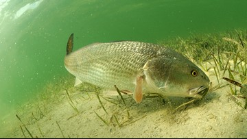 More than 16K fish to be released in Florida after red tide devastates marine life