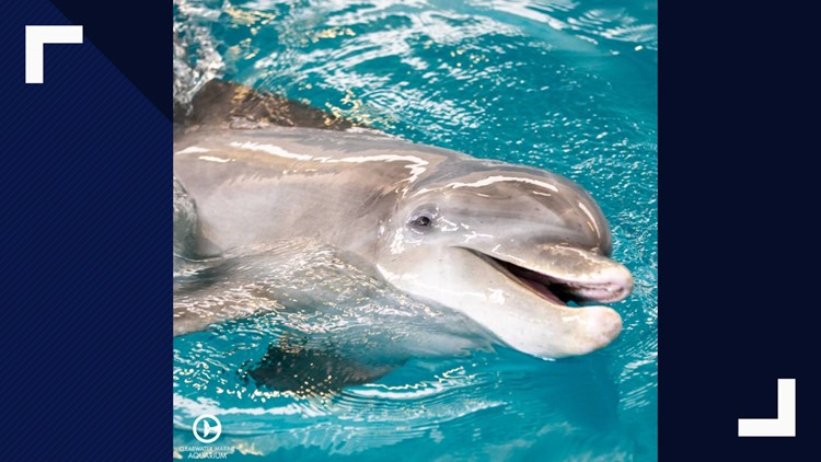Clearwater Marine Aquarium welcomes new dolphin | wtsp.com on