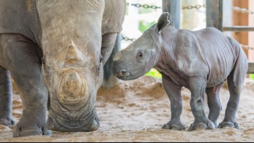 Endangered white rhino born at ZooTampa